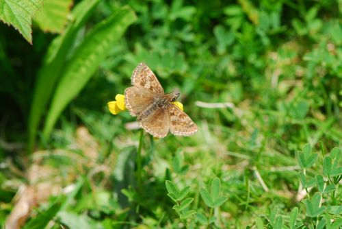 dingy skipper skipper butterfly