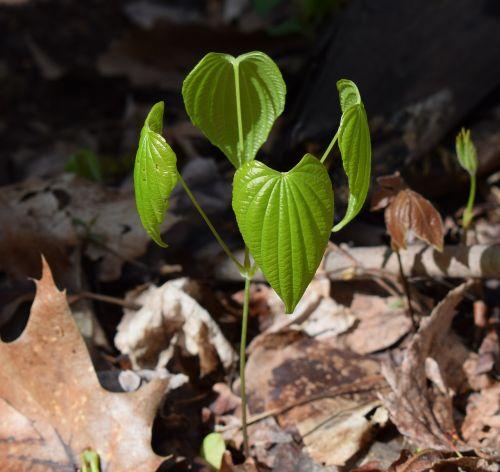 dioscorea quaternata wild yam new leaves