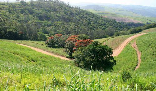 Dirt Roads On Sugar Cane Estate