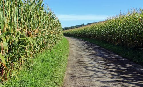 dirt track corn cornfield