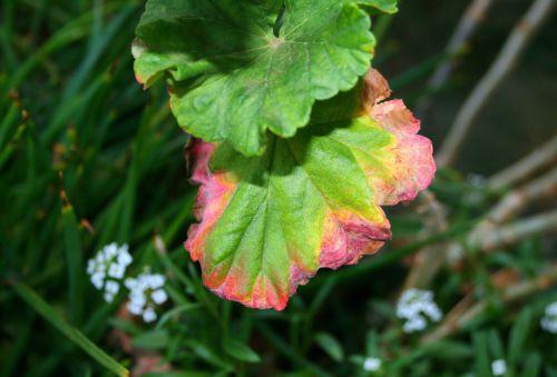 Discoloured Edge Of Geranium Leaf