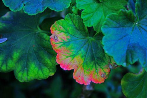 Discoloured Geranium Leaf