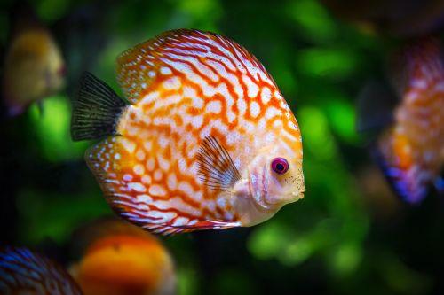 discus fish symphysodon aequifasciatus fish