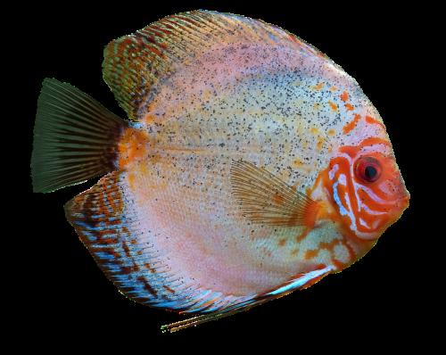 discus fish cichlid aquarium
