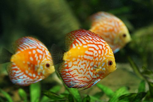 discus fish aquarium freshwater