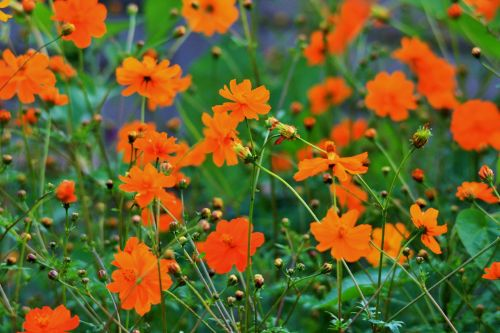 Display Of Yellow Cosmos