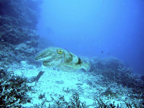 squid diving underwater