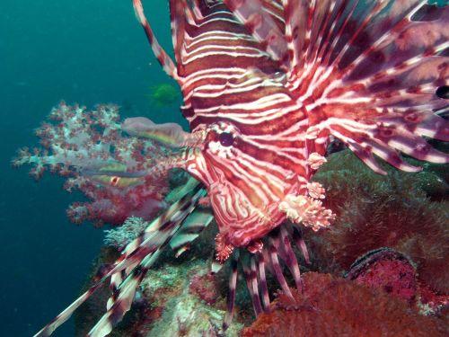 diving lionfish under