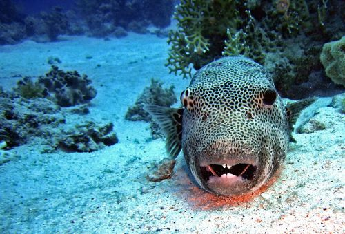 diving,underwater,water,fish,puffer fish,coral,sand,sea,blue,maritime,underwater world