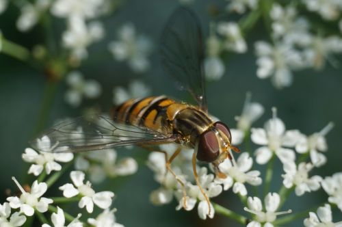 hoverfly episyrphus balteatus insect