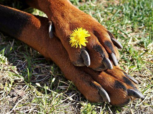 doberman paws claws