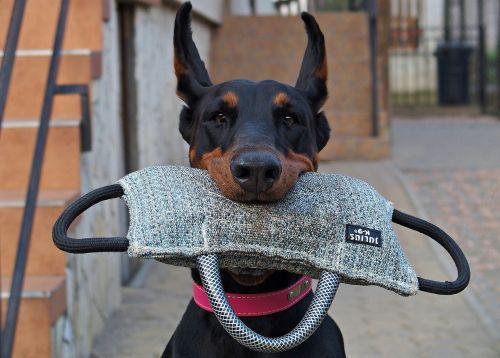 doberman dog keep