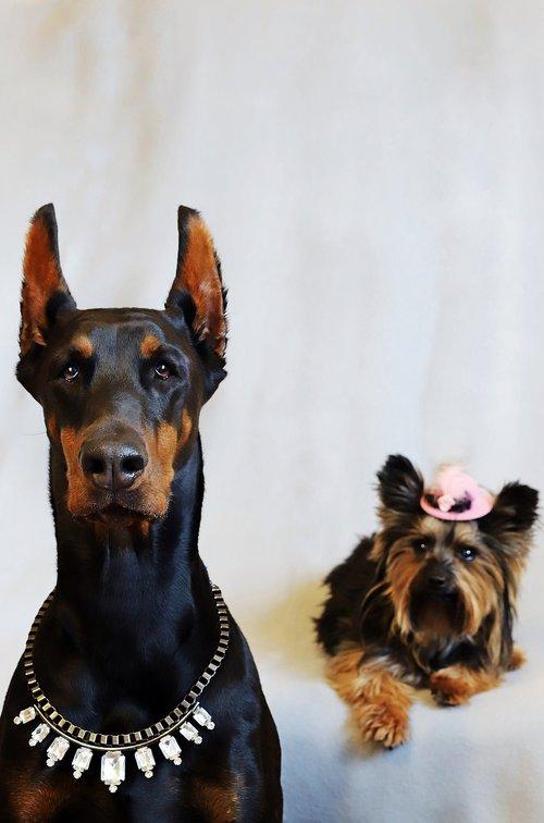 doberman  yorkshire terrier  dogs