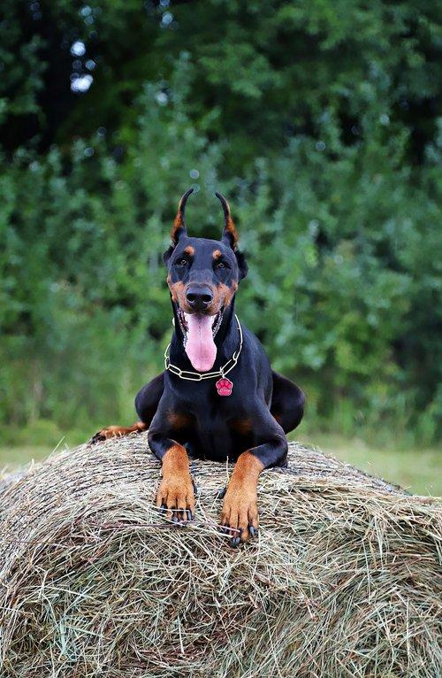 doberman  dog  haystack