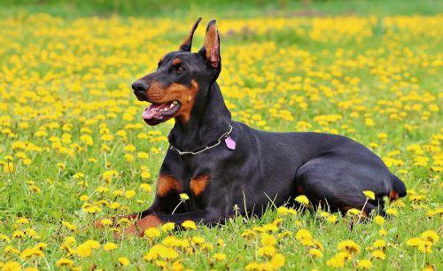 doberman dog nature