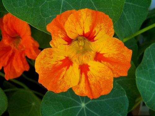 doctor flower  herbaceous plant  garden