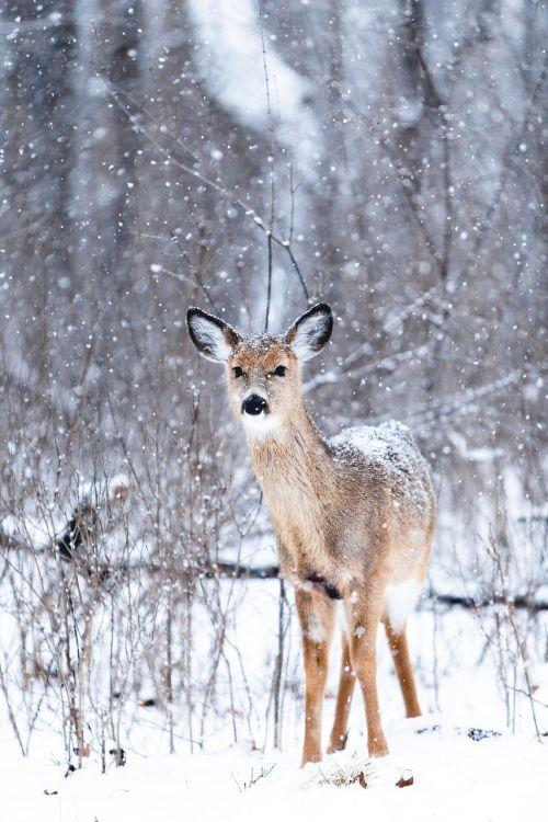 doe deer snowing