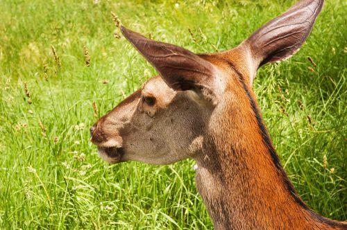 doe summer animal