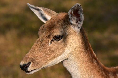 doe  fallow deer  portrait