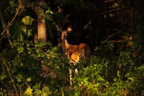 doe  deer  wilderness
