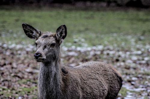 doe a female deer demonstration reserve