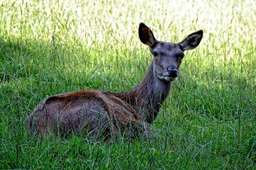 doe red deer wild