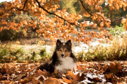 dog sheltie autumn