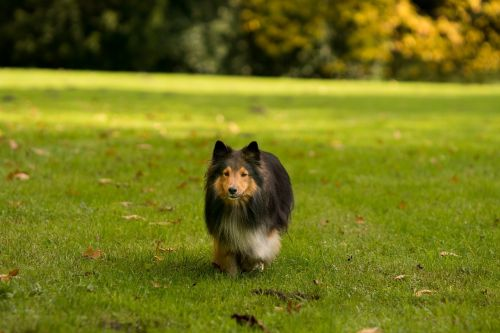 dog sheltie running