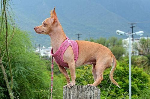 dog chihuahua animal