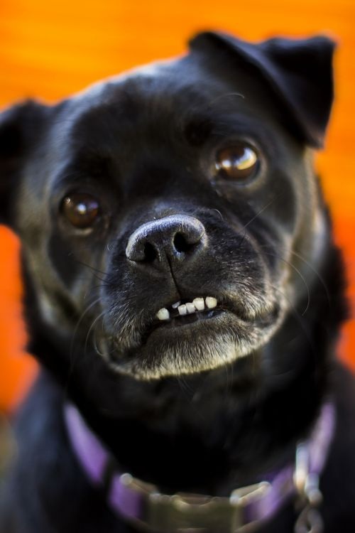 dog pug animal