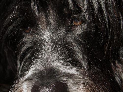 dog eyes muzzle