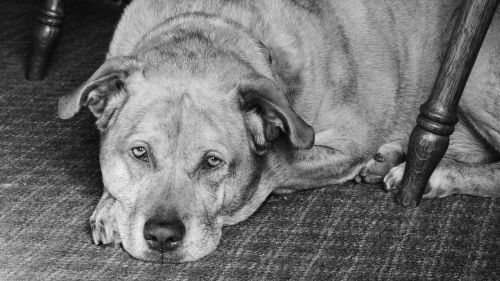 dog pit bull labrador