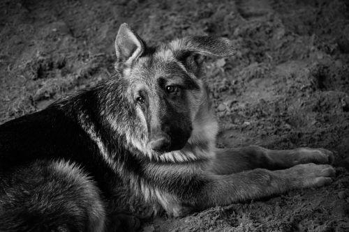 dog pastor black and white