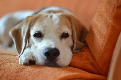 dog beagle animal