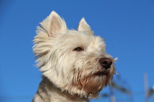 dog west white