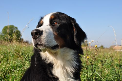dog bernese mountain dog animal