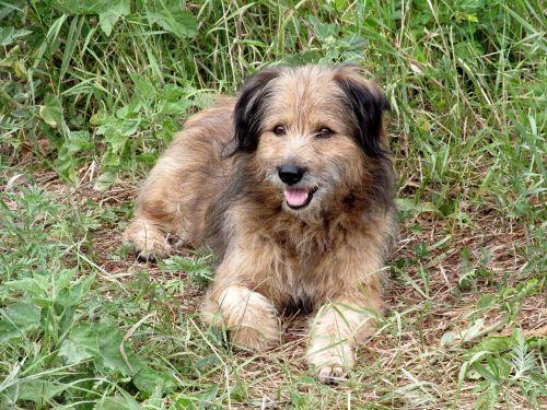 dog mongrel animal