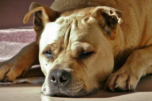 dog hundeportrait beige
