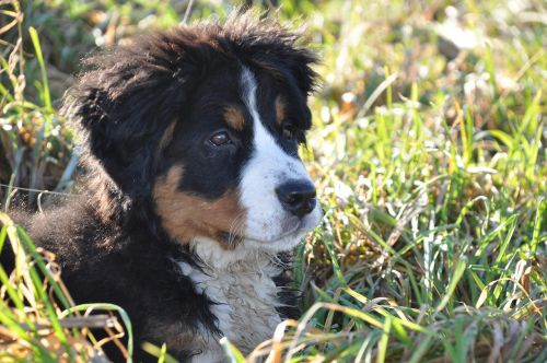 dog bernese mountain dog big dog