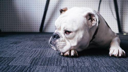 šuo,gyvūnas,buldogas,naminis gyvūnėlis,šuniukas,mielas,portretas