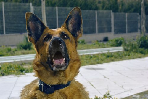 dog german shepherd canine
