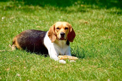 dog beagle game