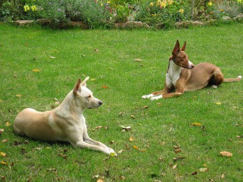 šuo,podenco,Keturiasdešimt,gyvūnų pasaulis,gyvūnų gerovė,brangioji,Gerai,budrus,žiūrėti,klausytis,sumaišyti,gyvūnas,ausys,grakštus,medžioklės šuo,laukinės gamtos fotografija,ilgai ausis,naminis gyvūnėlis,gyvūnų mylėtojas,patinka gyvūnams,paslėpti nosį,kaimas,kurtas,žinduoliai,gyvūnų portretas