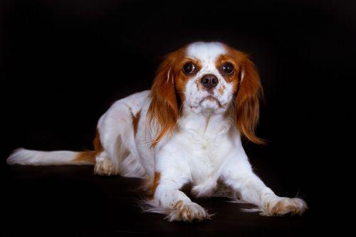 dog king charles spaniel cavalier