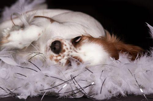 dog cavalier king charles spaniel lying