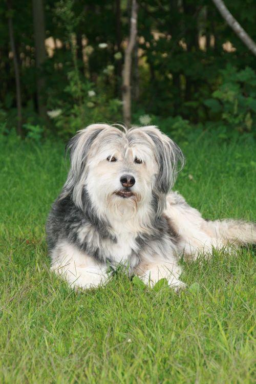 dog cute sheepdog