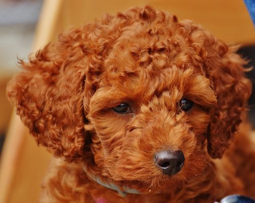 dog poodle young animal