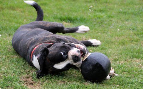 dog boxer pet