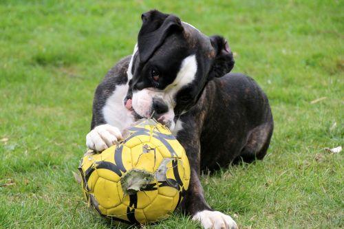 dog boxer black and white