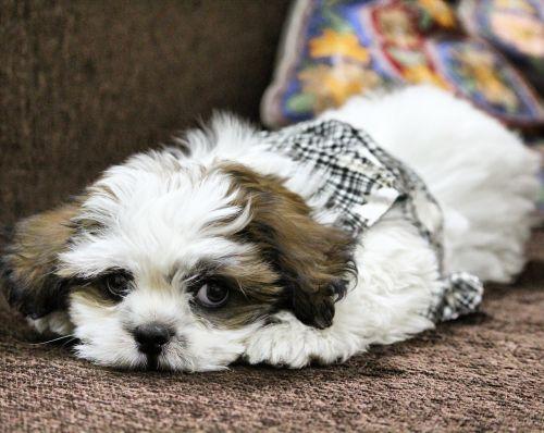dog noddy lhasa apso